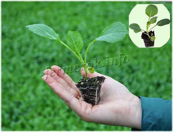 Как пикировать рассаду капусты