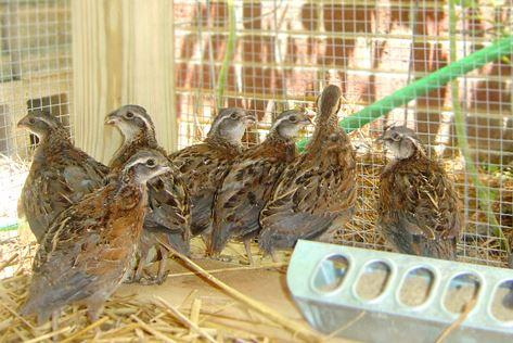Птицеводство в домашних условиях куры заболевания