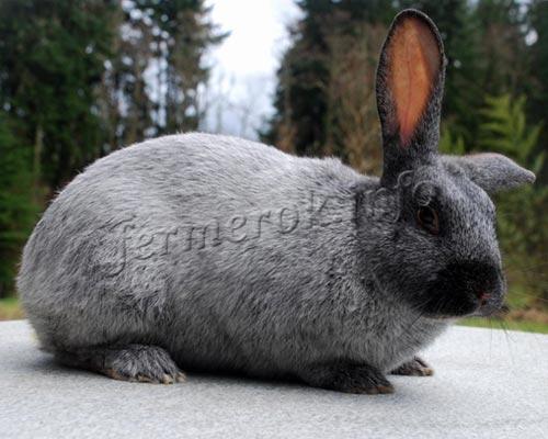 Фото кролика мясной породы