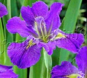 Фото цветов ирисов