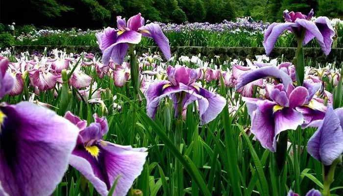 Фото цветущих цветов ирисов