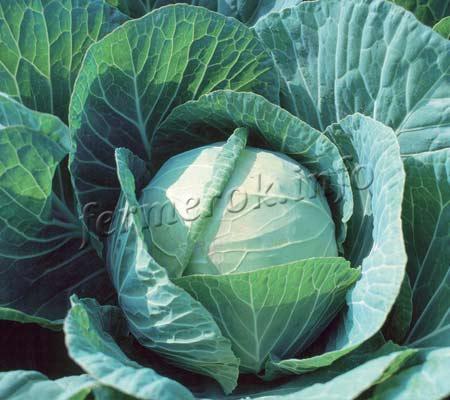 Фото капусты для засолки