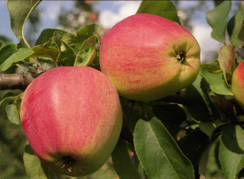 Характеристики яблони Синап Орловский
