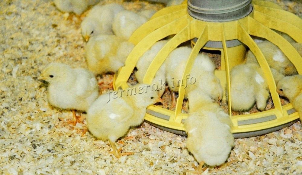 Цыплята у кормушки