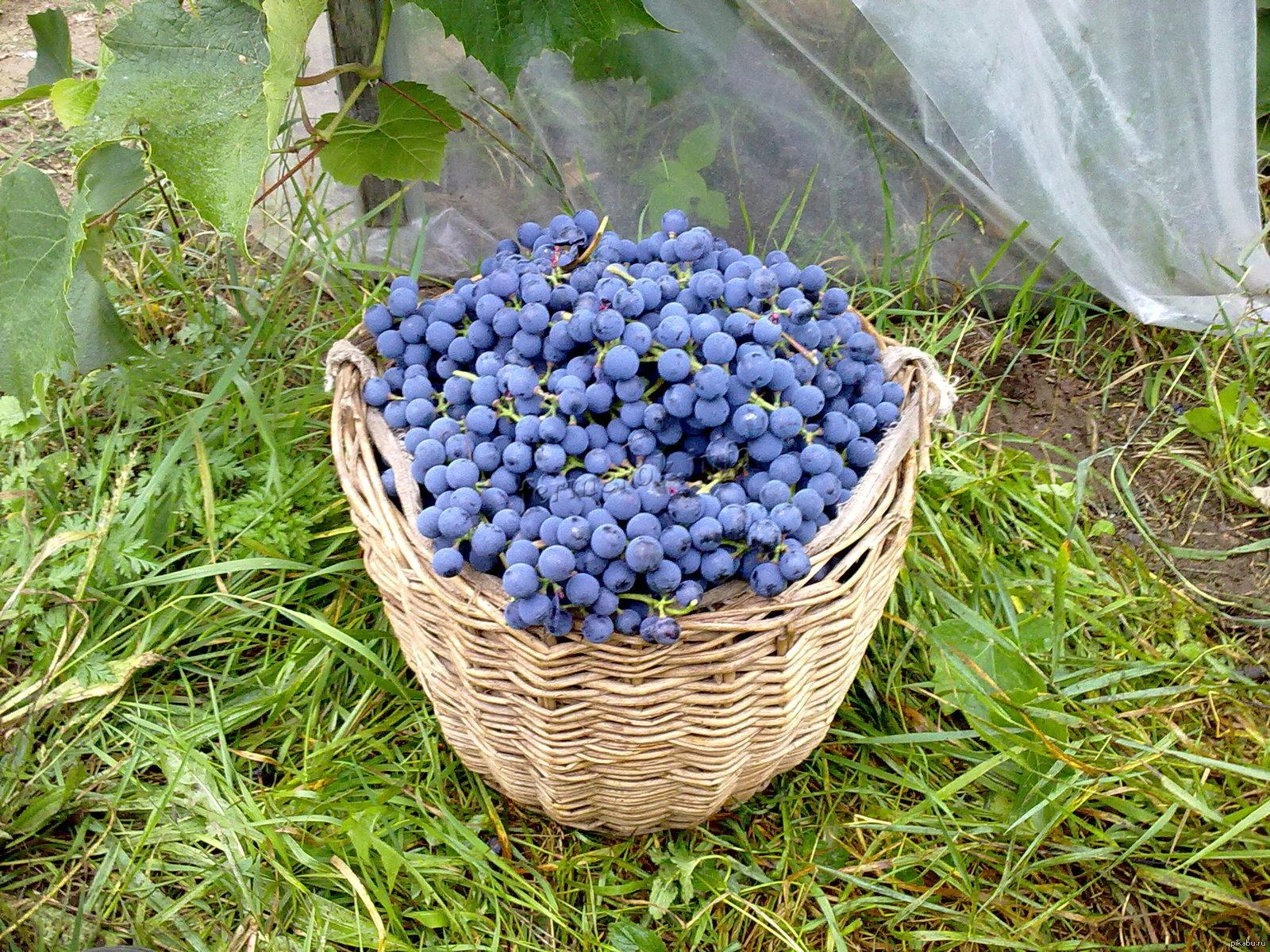 Удобрение винограда осенью