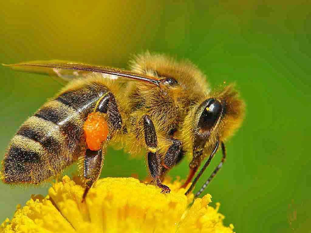 Особенности диких пчёл