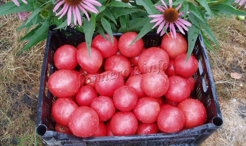 Розовые помидоры в ящике