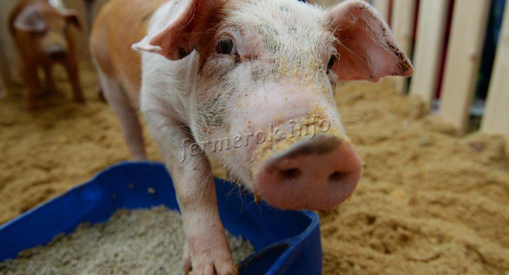 Свинья и кормушка