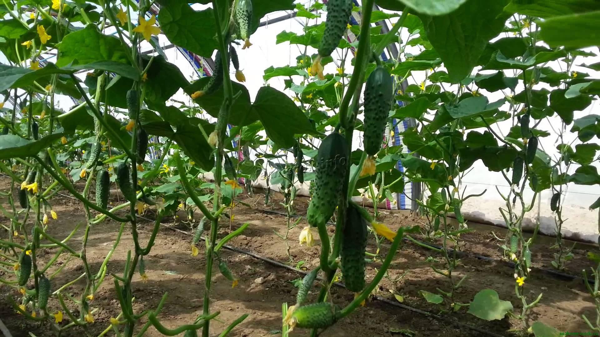 Условия выращивания огурцов в теплице