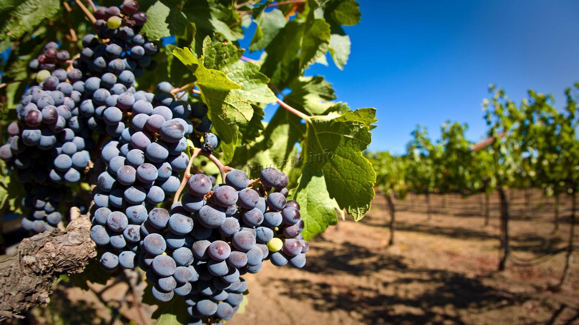 Виды подкормки винограда осенью