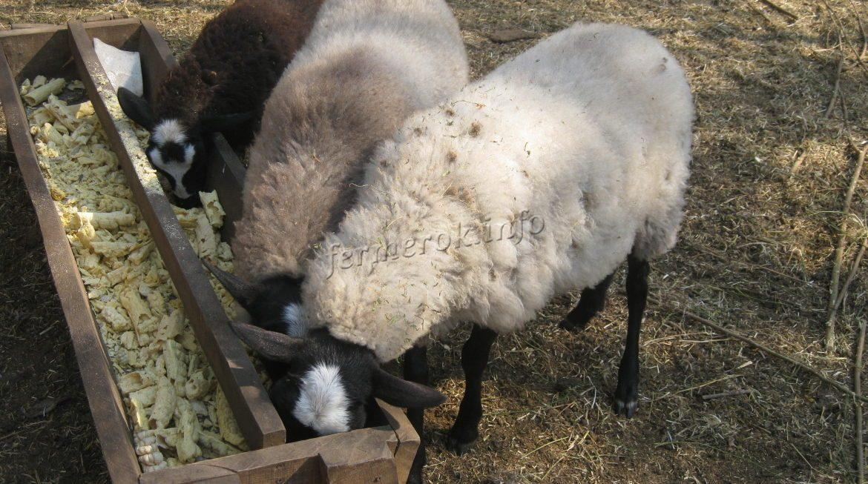 Рацион овец