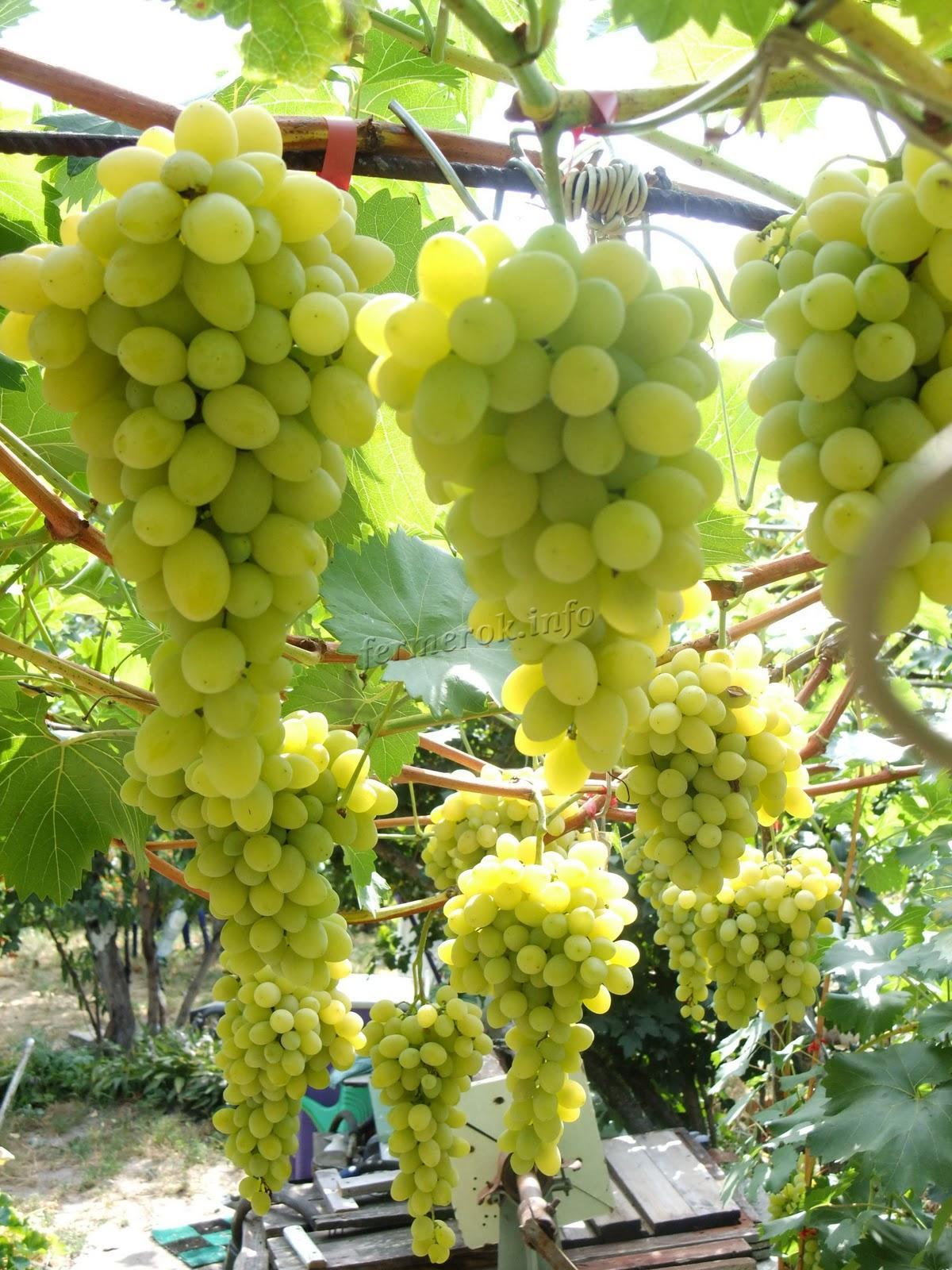 Зеленый виноград - сорта