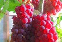 Фото красного винограда