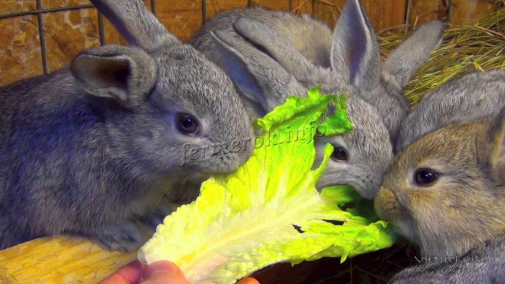 Лакомство для кролика - капуста