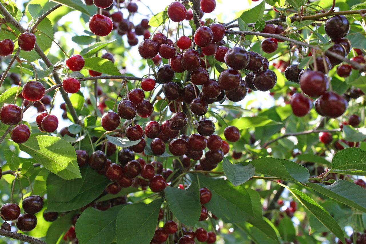 Особенности вишни сорта возрождение