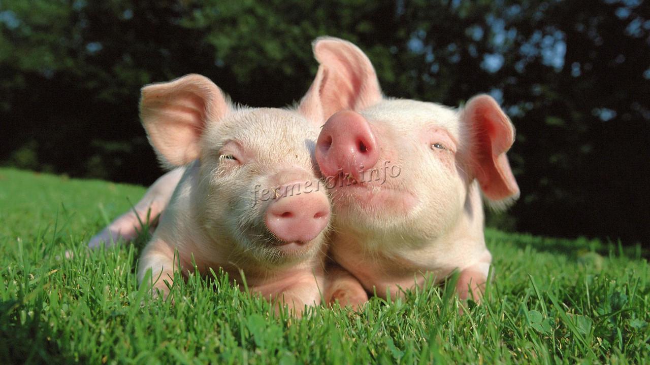 Специальный корм для свиней - премикс