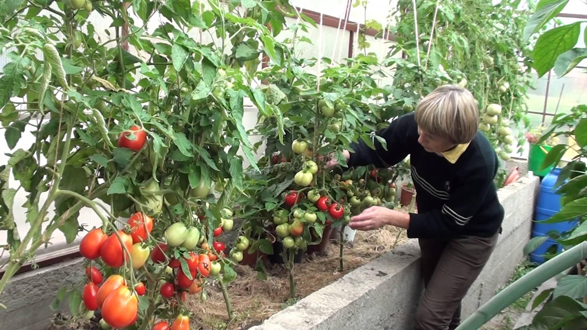 Розовые помидоры в теплице