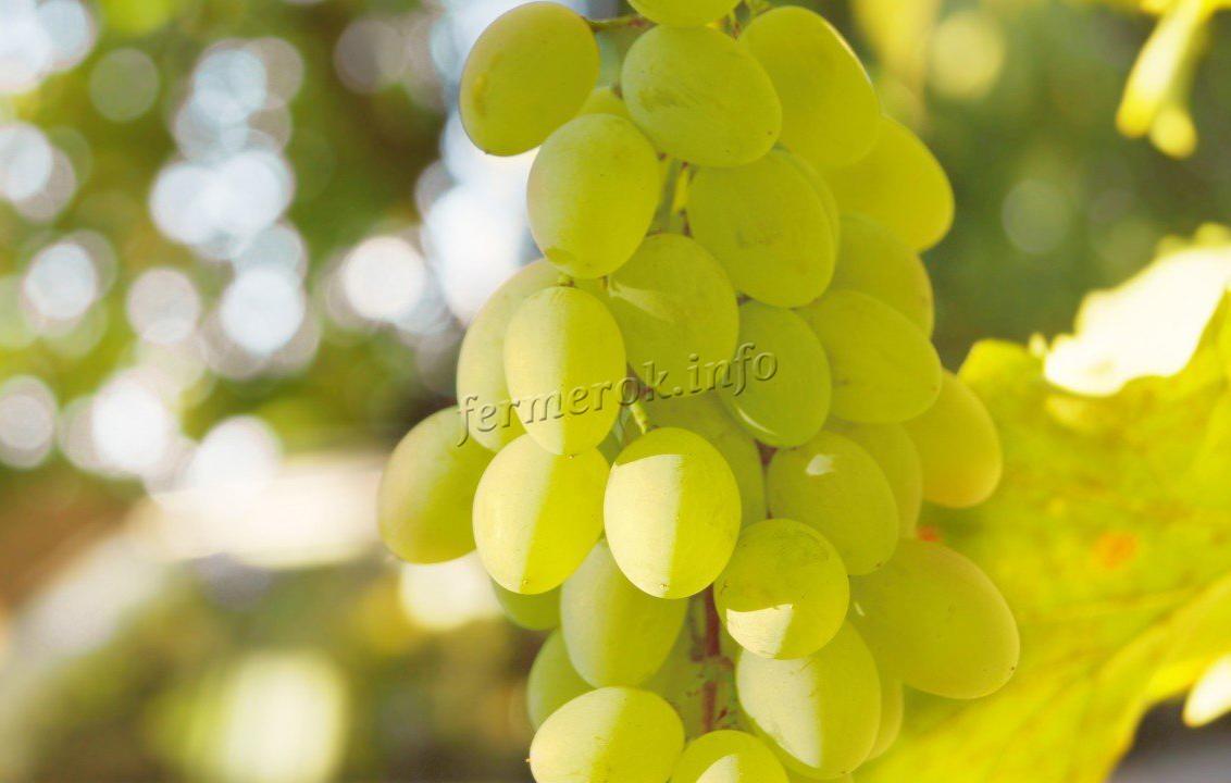 Грона белого винограда