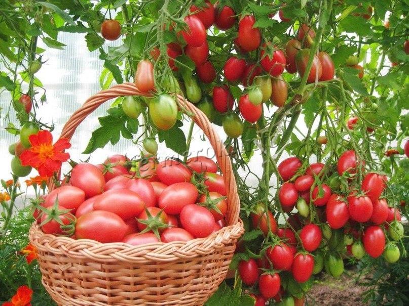 Розовые помидоры в корзине