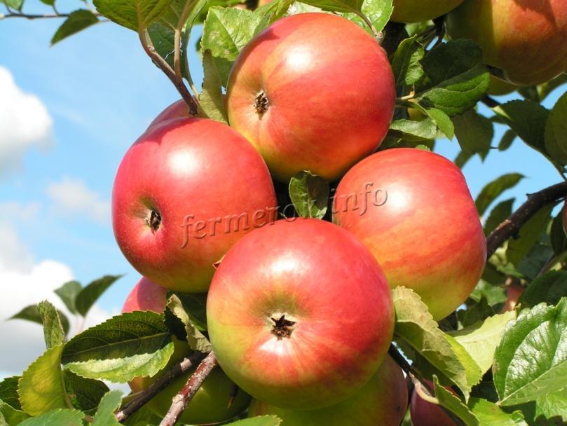 Методы борьбы с болезнями яблони