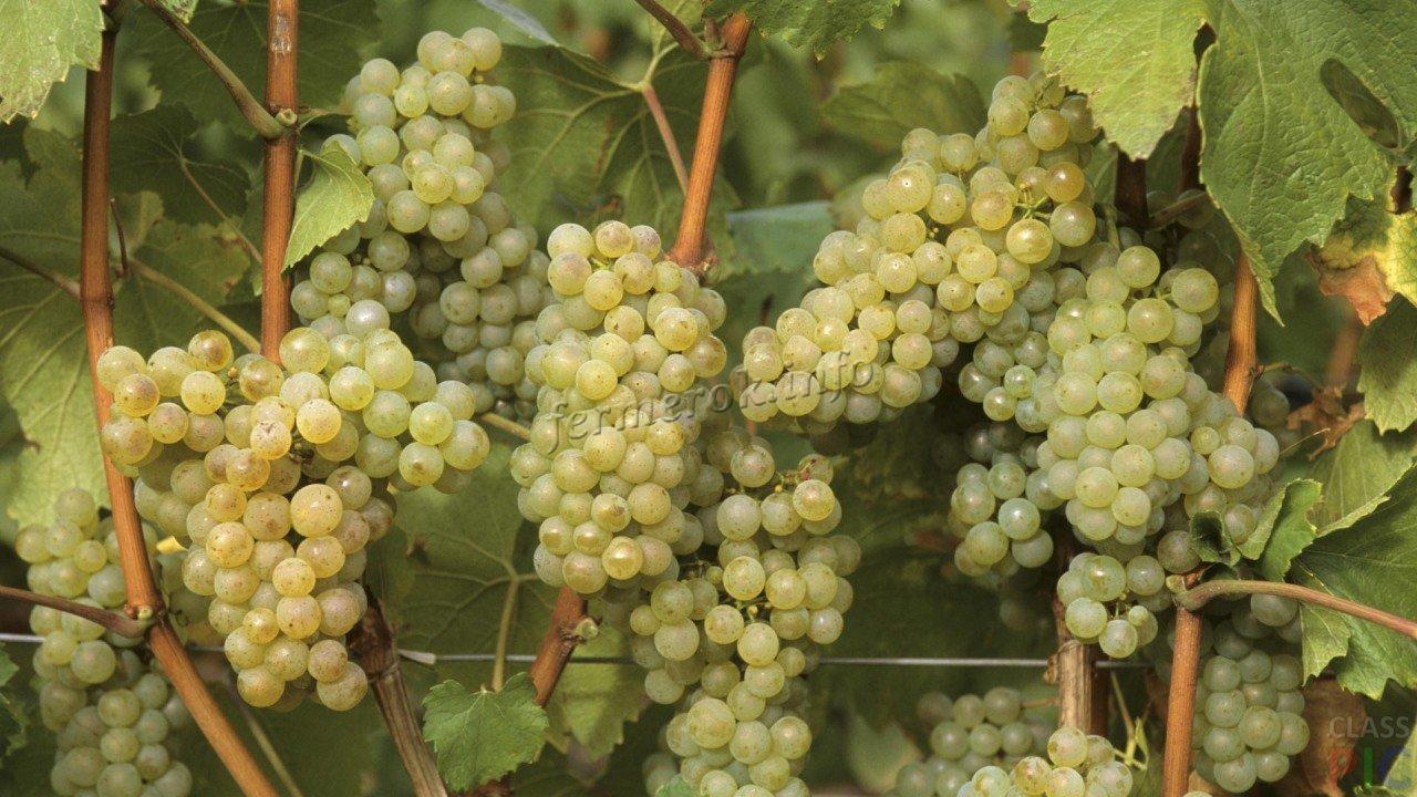 Разновидности технических сортов белого винограда