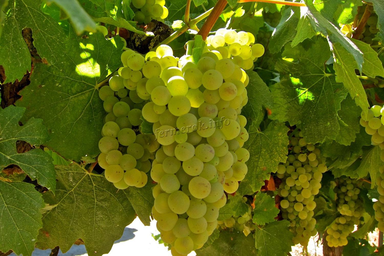 Разновидности белого винограда