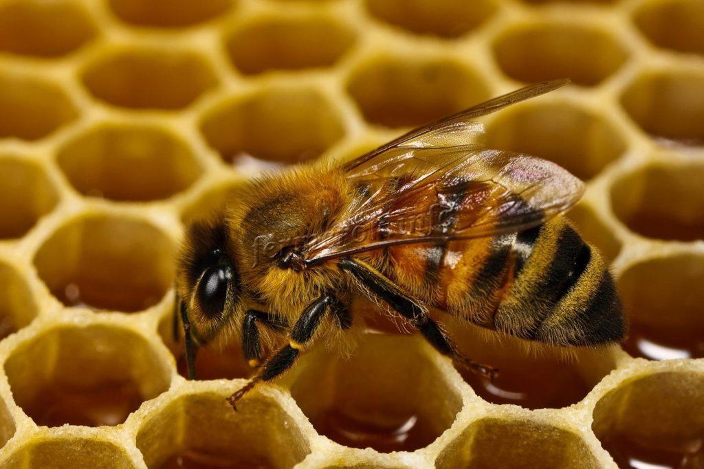 Фото пчелы, которая делает мед