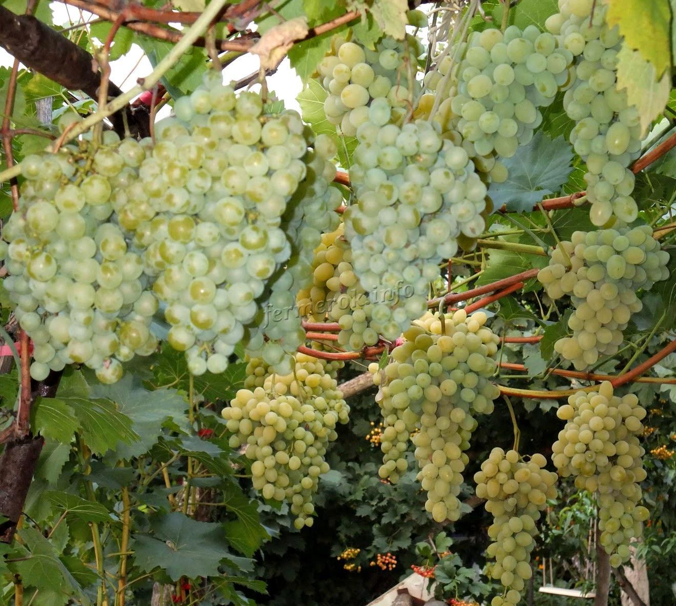 Лучшие сорта белого винограда
