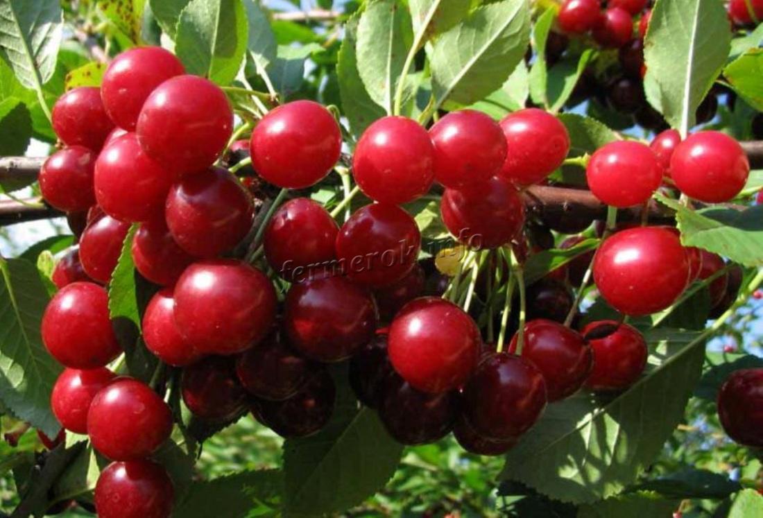 Особенности вишни сорта Любская