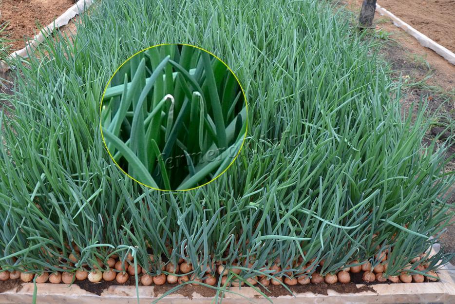 Как вырастить лук дома 2 пошаговые инструкции с фото 82