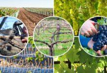 Уход за виноградом весь год
