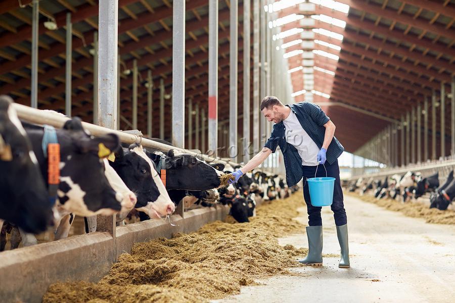 Мужчина кормит коров