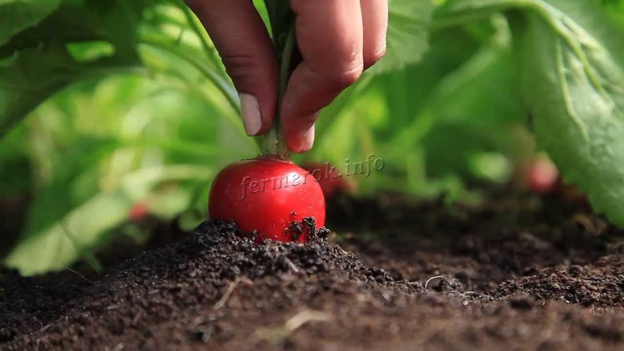 Условия выращивания редиски в теплицах