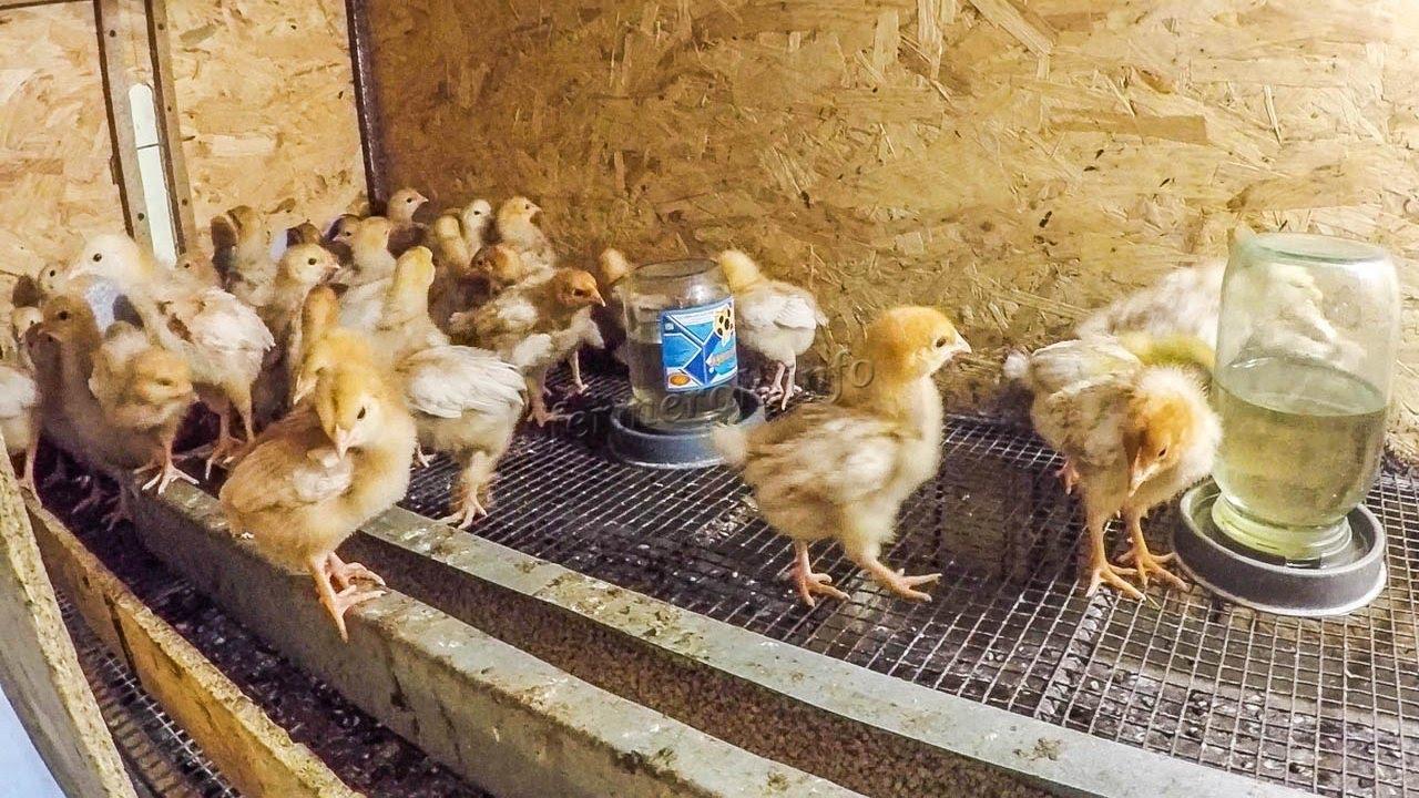 Цыплята возле кормушек