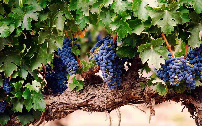Синий виноград