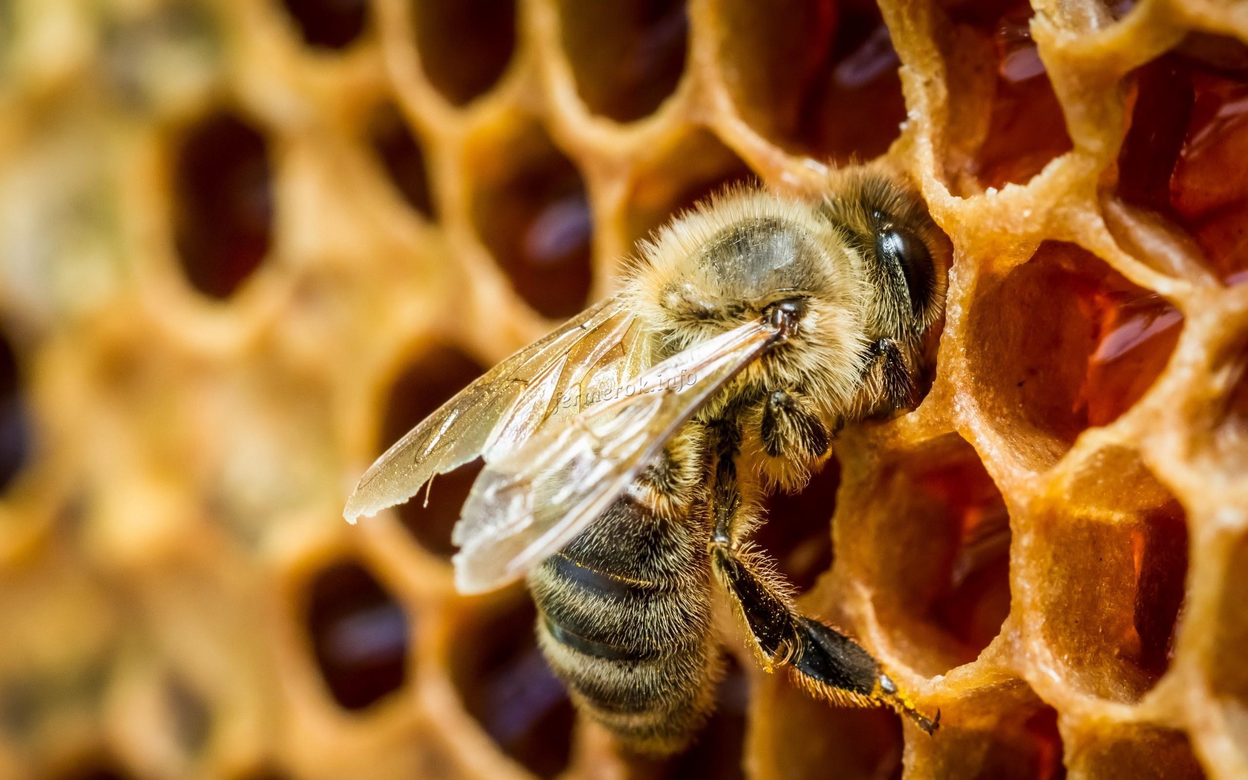 Фото пчелы на соте