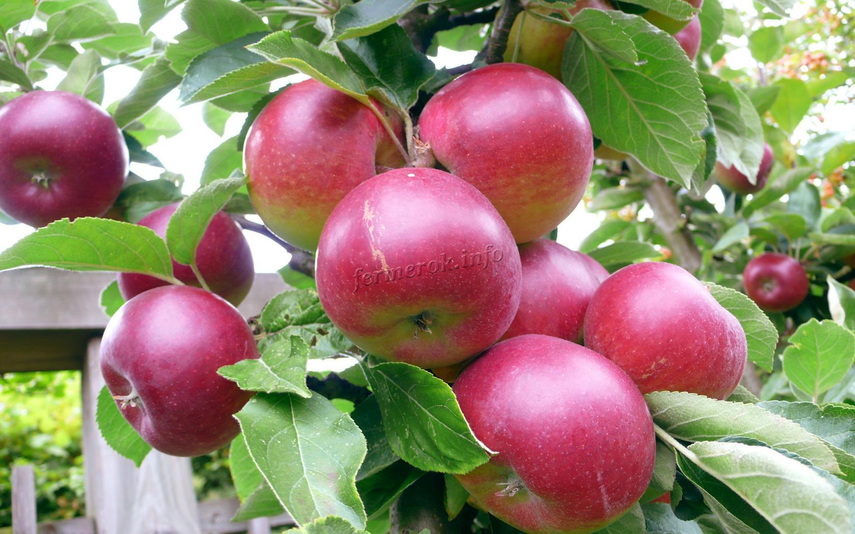 Подкормка яблони в разное время года
