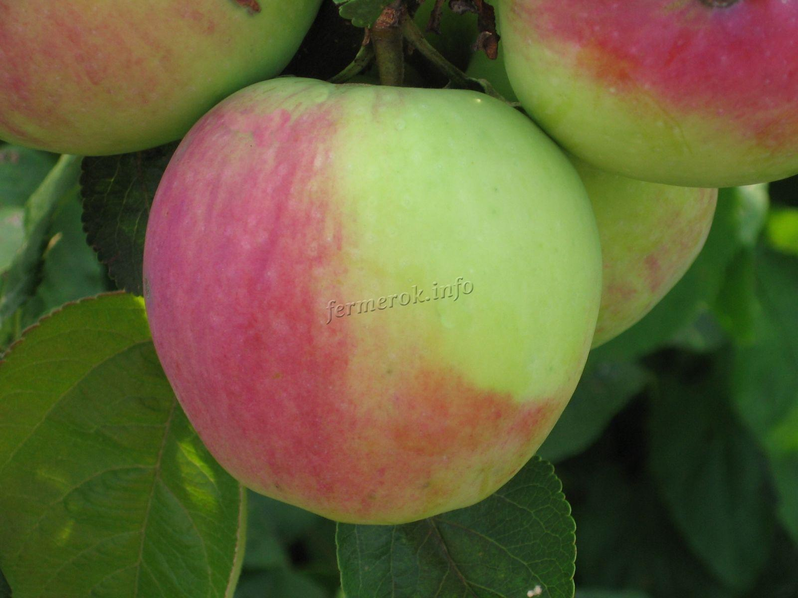 Разновидности яблони Синап