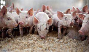 Подстилка для свиней и уход за ней
