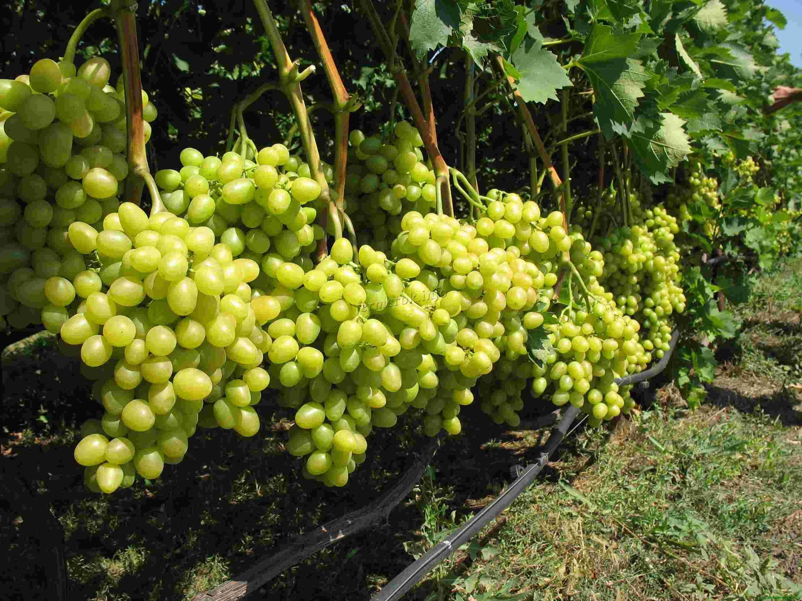 Виды подкормки винограда летом