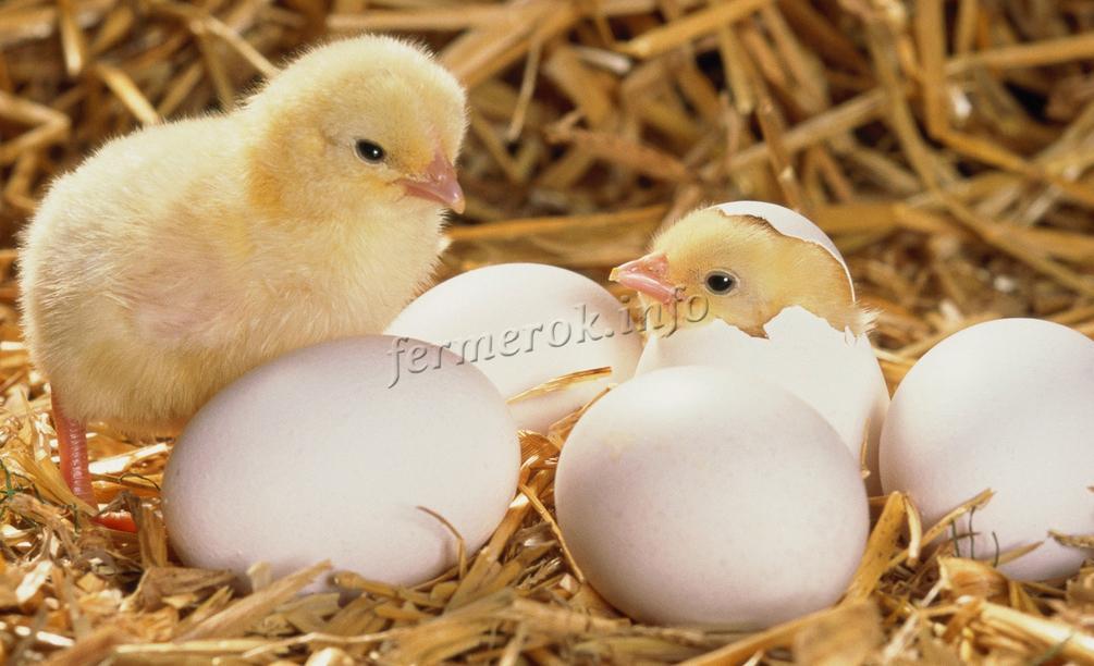 Правильный уход за цыплятами бройлеров