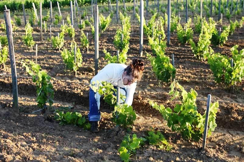 Девушка обрезает виноград