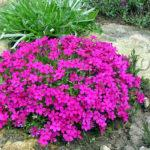 Уход и описание Растения Флокс шиловидный