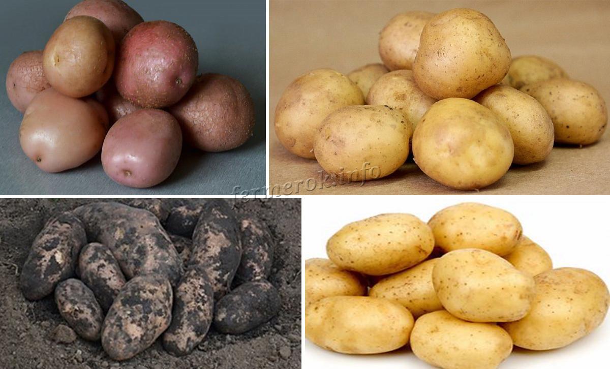 Картофель среднераннего срока созревания