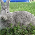 Содержание кролей породы Серый Великан