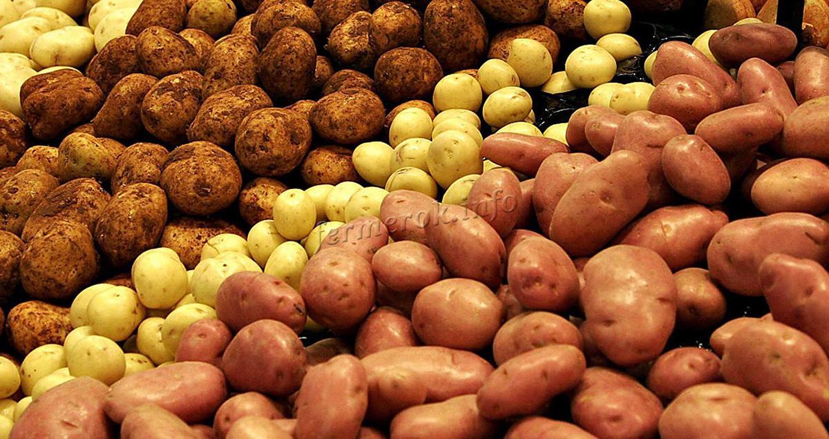 Лучшие раннеспелые сорта картофеля