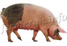 Сальные породы свиней описание