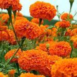 Посадка цветов Бархатцев