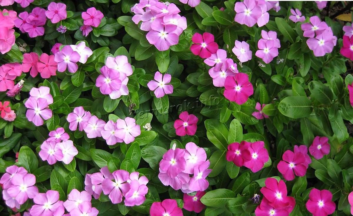 Описание цветка Барвинка