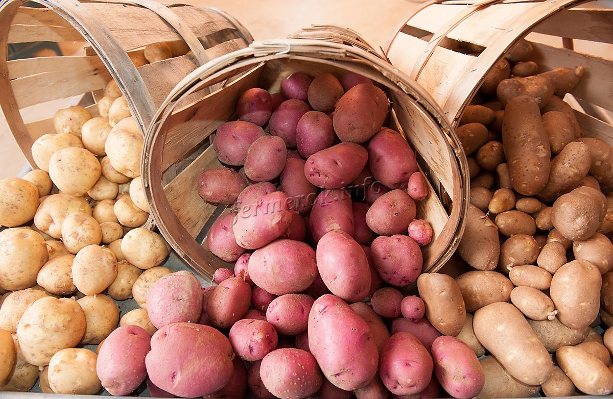 Особенности раннего картофеля